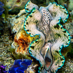 Giant clam in the tropical coral reef (Jixin YU) Tags: ocean life trip travel sea holiday nature water beautiful beauty animal danger giant landscape dangerous marine scenery colorful paradise underwater indian deep shell diversity scuba diving clam snorkeling adventure tropical aquatic mussel reef behavior maldives discovery undersea delicacy coralreef tridacna maldivian tridacnidae squamosa