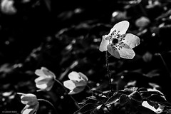 Last Light (leigh_rees) Tags: flowers light shadow blackandwhite bw plants sun mountain plant mountains flower detail macro reflection texture nature monochrome leaves sunshine southwales wales contrast reflections outdoors mono evening countryside spring flora nikon dof wildlife cymru highcontrast sunny monochromatic depthoffield anemone shade wildflowers backlit nikkor lowkey tone tranquil bnw grasslands plantlife goldenhour backlighting bridgend valleys anemonenemorosa wildplants windflower woodanemone thimbleweed 35mmf18 primelens coedybwl castleuponalun ogmorevalley nikond3300 d3300