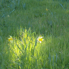 stellar moment (Fe 108Aums) Tags: grass star treasure time anchor mindfulness breathe awareness now daffodils preciousmoment presentmoment gravitypoint stellarmoment onlymoment
