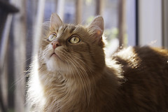 Clem Thursday: Chunchine Boy (Photo Amy) Tags: red orange pet cute cat fur ginger furry kitten feline tabby longhair adorable fluffy whiskers precious whisker cuddly cuteness longhaired aminal ef50mm18 eartufts toefur canon50d