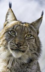Nice portrait  of Mojak! (Tambako the Jaguar) Tags: wild portrait male beautiful face backlight cat zoo switzerland intense nikon sitting farm watching posing bern lynx d4 johnskleinefarm