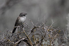 Sagebrush sparrow, Artemisiospiza nevadensis (jlcummins - Washington State) Tags: bird canon wildlife washingtonstate bentoncounty bej artemisiospizanevadensis sagebrushsparrow tamronsp150600mmf563divcusd sunnysidewildlifearea