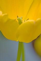 On Green Stem (brev99) Tags: flower macro yellow tulip yellowtulip tulsagardencenter d7100 ononesoftware tamron180f35 perfecteffects9