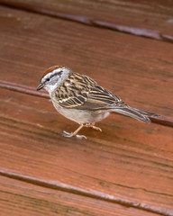 Chipping Sparrow (wplynn) Tags: wild bird birds indianapolis indiana sparrow avian chipping castleton passerina spizella