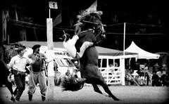 Volcando en el palenque (Eduardo Amorim) Tags: horses horse southamerica argentina criollo caballo cheval caballos cavalos pferde herd cavalli cavallo cavalo gauchos pferd ayacucho chevaux gaucho cavall  amricadosul gacho amriquedusud provinciadebuenosaires  gachos  sudamrica suramrica amricadelsur sdamerika crioulo caballoscriollos criollos jineteada  tropillas buenosairesprovince americadelsud gineteada tropilhas tropilla crioulos cavalocrioulo americameridionale tropilha caballocriollo eduardoamorim cavaloscrioulos