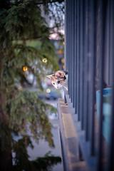 There's the Food! (Kurayba) Tags: ca food pet canada bird cat focus feline edmonton pentax bokeh balcony watching kitty full alberta frame calico curious manual 50 mode ff anca 4k k1 f17 pentaxa smcpa50mmf17