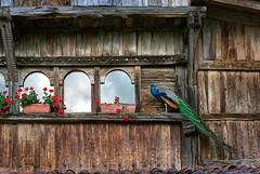 eliminando  a la competencia (II) (Juan Ig. Llana) Tags: rojo madera ventanas ave cielo nubes zb fachada extica bizkaia pavoreal paraso macetas claveles casero loiu aspaldiko