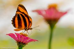 Banded Orange - Amazon basin (Donna Hampshire) Tags: orange butterfly ecuador bandedorange dryadulaphaetusa amazonbasin orangetiger southamericanbutterfly nymphalidea napowildlifecentre donnarobinson donnahampshire bandedprangeheliconian