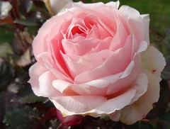 "Rose (Gartenzauber) Tags: masterphotos floralfantasy rosesforeveryone doublefantasy thebestofmimamorsgroups exquisiteflowers macroelsalvador mixofflowers mimamorflowers flowerarebeautiful ""magicmomentsinyourlifelevel3"" magicmomentsinyourlifelevel4 theoriginalgoldseal nature'splus excellentsflowers"