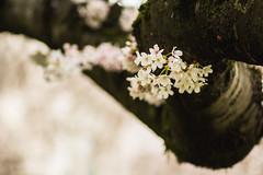 IMG_6706 (elenafrancesz) Tags: cherry blossoms wordless