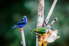 Dacnis azul (grzegorzmielczarek) Tags: costarica centroamrica bluedacnis dacniscayana pitpit mieleroturquesa blaukopfpitpit dacnisazul