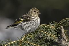 nikon D2Xs (Rich de Tilly utilisateur Nikon) Tags: bird nature animal nikon lumire couleurs attitude oiseau 300mmf4 animalier 300f4 d2xs nikond2xs afs300mmf4 naturesauvage