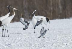 Formation Landing (Alpha 2008) Tags: winter snow bird nature japan hokkaido crane pigeon wildlife sony   birdsinflight alpha akan    bif            sonysal70400g2