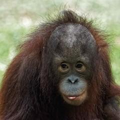 Orang-Utan, Monkey World, Dorset (jim_2wilson) Tags: orangutan ape captive monkeyworld jimwilson sonya77 sony70400mmssmii