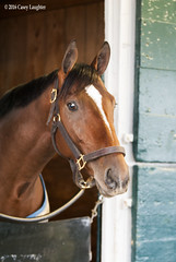 Brody's Cause (Casey Laughter Photography) Tags: morning horse barn racing winner stable keeneland racehorse thoroughbred gallop backstretch workouts