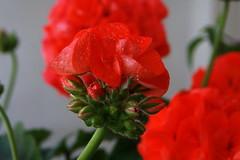 GERANIO (GERANIUM ) (botavara_50) Tags: espaa canon spain andalucia geranium geranio 40d botavara
