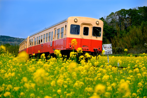 小湊鉄道菜の花とムーミン列車