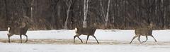 Japan (richard.mcmanus.) Tags: trees winter panorama snow japan mammal hokkaido wildlife deer gettyimages mcmanus shikadeer tsurui