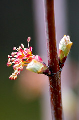 Maple (2) (kimshand) Tags: trees nature closeup landscape spring maple stem seasons acer buds