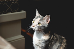 Biscuit (Colin Robison) Tags: lighting light cats sunlight eye contrast cat eyes nikon kitten feline dof natural kitty depthoffield kitties felines