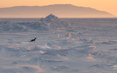 Sable on the frozen Baikal (csabatokolyi) Tags: travel winter lake ice animal landscape frozen russia wildlife sable shards t baikal martes utazs lakebaikal 500px oroszorszg fagy  ifttt  zibellina marteszibellina coboly bajklt