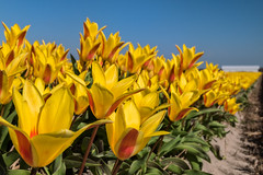 the First Tulips (Pieter ( PPoot )) Tags: red holland yellow spring tulips geel rood noordholland tulpen bollenveld