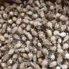 Scabiosa Seed Pods (ecologycenterberkeley) Tags: basil seedswap