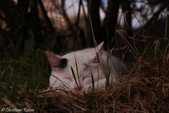 sleep good... (C.Raiser) Tags: cats pets sun lake alps water rain fog landscape island see ducks insel neuschwanstein garmisch fssen zugspitze allgu forgensee eibssee