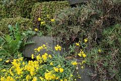Bressanone (Luciana.Luciana) Tags: fiori altoadige brixen bressanone gialli neveschnee sudtirol