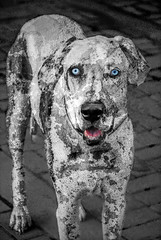 Great Dane Stain (FotoGrazio) Tags: portrait dog pet painterly abstract art texture animal animals composition giant fur photography mutt eyes photoshoot blueeyes fineart creative large surreal canine greatdane massive portraiture stare huge moment photographicart capture mixedbreed textured pedigree digitalphotography dogart phototopainting phototoart strangelooking petart sandiegophotographer largedogbreed artofphotography flickrelite californiaphotographer internationalphotographers worldphotographer intenseanimals photographersinsandiego fotograzio photographersincalifornia waynegrazio waynesgrazio