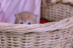 Ooooppsss (koolandgang) Tags: baby cat persian kitten basket kitty reis kedi babycat pisipisi yavrukedi irankedisi kedici