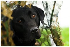 Labrador Working Dog (bo foto) Tags: dog dogs labrador hunting boudewijn workingdogs olthof nikonflickraward