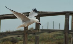 On the flaps, Gear down (Vicente M-Esparza) Tags: playa murcia ave invierno gaviota naturalez salinassanpedro