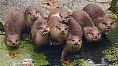 Family Small-clawed Otters (Foto Martien) Tags: india holland netherlands dutch indonesia thailand zoo southeastasia burma philippines nederland taiwan vietnam malaysia laos geotag bangladesh noordbrabant a77 dierentuin riverotter southasia dierenpark geotagging northbrabant overloon kleinklauwotter asiansmallclawedotter southernchina sero zwergotter smallclawedotter aonyxcinerea southernasia orientalsmallclawedotter zooparcoverloon dwergotter aziatischekleinklauwotter loutrecendre mangroveswamps kurzkrallenotter martienuiterweerd freshwaterwetlands lontraanoriental oostersekleinklauwotter nutriaenana fotomartien slta77v a77v sonyalpha77 geotaggedwithgps tamron70300mmf456sp