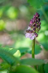 hiding away (Tschissl) Tags: wien flowers austria sterreich orchids pflanzen blumen location stacked orchideen orchis leopoldsberg