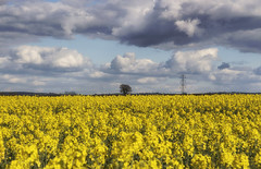 Yellow Sea (Martyn.Smith.) Tags: panorama yellow canon landscape eos golden countryside photo flickr image harvest panoramic fields crops canola rapeseed sigmalens nikcolorefex 700d seedoilrape