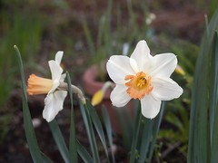 Daffodil ' LOUISE DE COLIGNY' (annabelleny Thank you for your views and comments) Tags: flowers floral blossoms daffodils