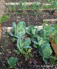 Cabbages (karenblakeman) Tags: uk vegetables garden april caversham cabbages 2016 brassicas cavershamgarden