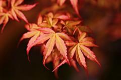 Acer Palmatum 'Katsura' (katrina_lavis) Tags: plant macro leaves garden leaf foliage acer