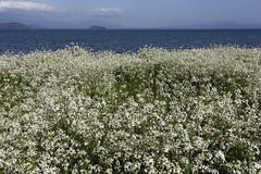 Wild radish (Teruhide Tomori) Tags: beach water field japan landscape spring lakeside shore   radish shiga biwalake  imazu       momosehama