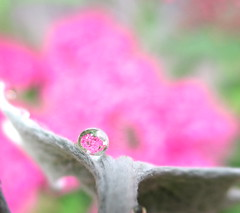 Silver and pink... Spirea in refraction.. (Kaos2) Tags: pink flower macro spring waterdrop refraction spirea dustymiller