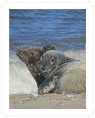 Nosey Neighbours ! (mr_snipsnap) Tags: sea beach mammal grey coast sand norfolk atlantic seals