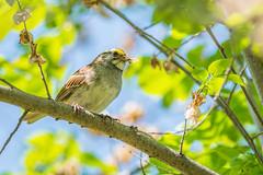 Sunshine Sparrow (PhillymanPete) Tags: tree bird nature sunshine burlington us newjersey spring nikon unitedstates wildlife sparrow palmyra songbird whitethroatedsparrow palmyracovenaturepark treecanopy d7200