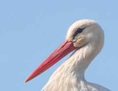 Close Stork (Obicare) Tags: green bird church birds animals lens zoom wildlife sigma 150 600 vgel stork songbird storch singvogel 150600mm