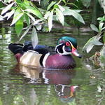 Wood Duck_male thumbnail