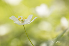 Bos Anemoontje (Janny.K) Tags: macro ilovenature bokeh outdoor ngc depthoffield serene colorsoftheworld zoomnl canonphotography bosanemoontje digitalcameraworld dutchnature photofacts