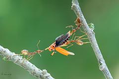 Teamwork (melnikor) Tags: macro green bug bokeh ant extreme malaysia hunter prey weaver kota kelantan stink hunted bharu leehuaming