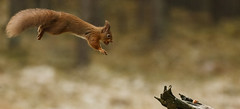Jumping squirrel (Ruth Hayton) Tags: red wild nature scotland jumping squirrel vulgaris sciurus