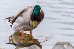I See My Reflection (kevnkc2) Tags: park county duck spring pond nikon pennsylvania contemporary ducks sigma cumberland lightroom shippensburg d610 stdntsdoncooper 150600mm 150600f563