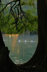 PEACEFUL. (NIKONIANO) Tags: naturaleza lake nature water mxico lago agua amanecer michoacn michoacan ahuehuete ahuehuetes nikoniano lagodecamecuaro lagosdemxico sergioalfaroromero amanecerenellago ciprsdemoctezuma